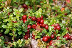 Nutrition Foundation: l'elasticità delle pareti arteriose migliora dopo il consumo di succo di mirtillo rosso americano grazie all'elevato contenuto in polifenoli...