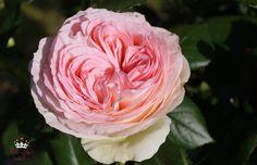 Strauchrose Eden 85, weiß/rosa - Züchter Mailand