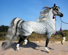Showcase for the customized model horses done by Tardis Stables. Black Arabian Horse, Beautiful Arabian Horses, Most Beautiful Horses, Majestic Horse, Majestic Animals, All The Pretty Horses, Animals Beautiful, Cute Animals, Rare Horses