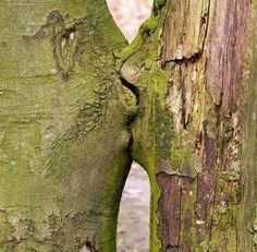 Loving Trees no matter how much we try to show the love that fills the world nature always seems to outshine our creativity , miyo jergen , 2016 the kissing trees , land art that arose naturally Weird Trees, Tree Faces, Unique Trees, Nature Tree, Jolie Photo, Tree Art, Tree Of Life, Natural Wonders, Amazing Nature