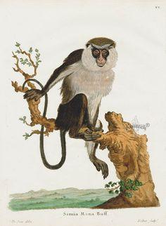 Johann Schreber Die Saugthiere in Abbildungen Mammal Prints 1775 - catherine Botanical Illustration, Botanical Prints, Primates, Mammals, Monkey Illustration, Monkey Pattern, Monkey Art, Animal 2, Antique Prints