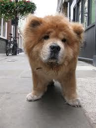 Everybody needs a chow chow!