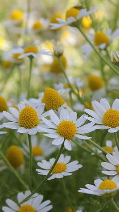 Daisies - Beautiful gardens need great plants #garden #dan330 http://livedan330.com/2015/05/19/proven-winners-plants-you-can-count-on/