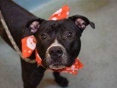 ♣1/15/15 HE'S STILL THERE! PLEASE GET HIM OUT!♣★SUPER-URGENT 12/24/14★PLEASE SAVE THIS SWEET, BEAUTIFUL BOY!!!★ Brooklyn Center -P My name is RICCO. ***NEW PHOTO*** My Animal ID # is A1021981. I am a male black and white am pit bull ter mix. The shelter thinks I am about 10 MONTHS old. I came in the shelter as a STRAY