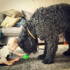 Kron & Arie - give me that ball Black russian terrier & a baby boy Black Labradoodle, Black Russian Terrier, Terrier Dog Breeds, Maine Coon Cats, Black Labrador, Large Dogs, Healer, Best Dogs, Baby Boy