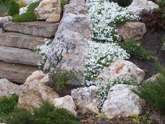 weiße Gänsekresse als schöner Kontrast zum Stein