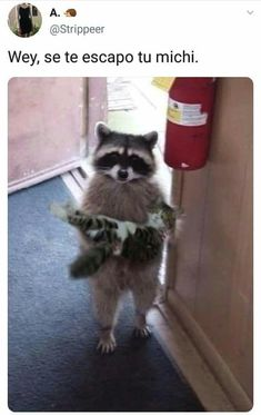 he need he lööp. reposting from: Funny Animal Memes, Funny Cat Videos, Funny Animals, Cute Animals, Funny Spanish Memes, Spanish Humor, 9gag Funny, Funny Memes, Funny Sarcasm