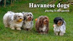 house of havanese - YouTube