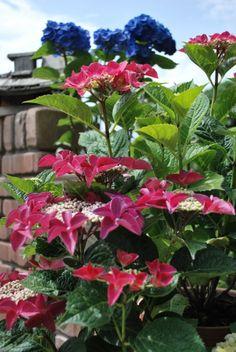 A hortenzia gondozása és ültetése | Dísznövény és dendrológia | Kertportál.hu Beautiful Flowers, Plants, Diy, Backyard Ideas, Gardening, Bricolage, Lawn And Garden, Do It Yourself, Plant
