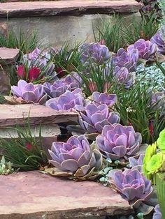Echeveria Perle Von Nurnberg - front yard landscaping ideas with rocks Succulent Landscaping, Succulent Gardening, Landscaping With Rocks, Cacti And Succulents, Front Yard Landscaping, Planting Succulents, Planting Flowers, Landscaping Ideas, Succulent Rock Garden