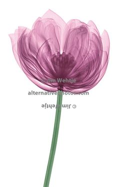 X-ray image of a lotus flower. would love one of these in a different colour for each of my sisters