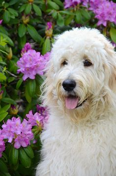 Goldendoodle - by Maria Dryfhout on [fineartamerica]