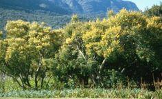 Peltophorum africanum in Kirstenbosch          Weeping Wattle            Huilboom