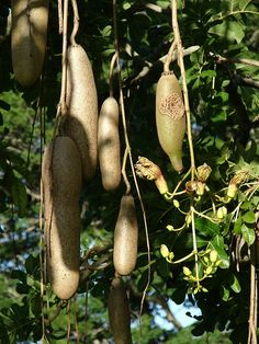 Kigelia africana Native to Africa Fruit Plants, Fruit Garden, Fruit Trees, Trees To Plant, Exotic Fruit, Tropical Fruits, Exotic Plants, Fresh Fruits And Vegetables, Fruit And Veg