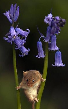 "A garden brings all kinds of critters! ""A Little Field Mouse AND Bluebells!"" (Photo By: Jacqueline Gentry. All Gods Creatures, Cute Creatures, Beautiful Creatures, Animals Beautiful, Animals And Pets, Baby Animals, Funny Animals, Cute Animals, Small Animals"