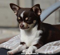 Beautiful coloring! Chihuahua