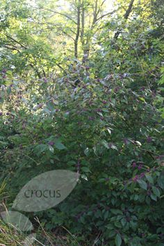 giraldi Profusion - Lovely violet berries on bare branches: 2 litre pot: Delivery by Crocus
