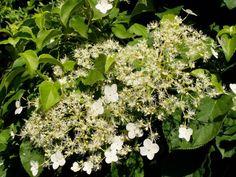 Hydrangea Petiolaris (Ortensia Rampicante)