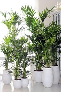 zimmerpflanzen wenig licht kentiapalme attraktiv tropisch sauerstoff weiss pflanzkuebel