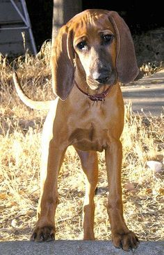 Redbone Coonhound Puppy (where the red fern grows).I want this dog so bad! Look at those ears! Cute Puppies, Cute Dogs, Dogs And Puppies, Doggies, Hound Puppies, Redbone Coonhound, Dog Rules, Hunting Dogs, Beautiful Dogs