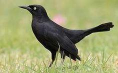 """Résultat de recherche d'images pour """"oiseaux noirs"""""""