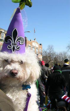 Princess Tidbit attending the Mardi Gras Purina Beggin Strip Pet Parade in St. Louis