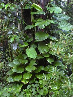 Epipremnum Aureum Growing in the Wild