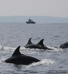 www.dolphinwatch.ie     dolphins in shannon river county clare : Carrigaholt