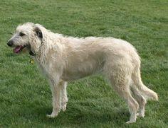 Visit us at: https://www.facebook.com/alieandbodhi    This is Bodhi a Wheaton Irish Wolfhound