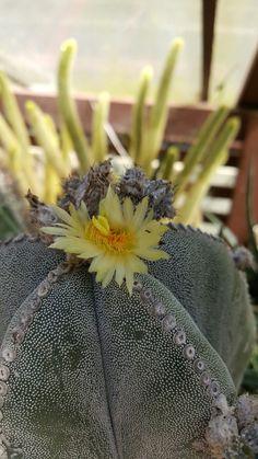 Flor de Cactus  - Jardim Botânico- Rio de Janeiro  - Foto: Marília Vidigal Carneiro