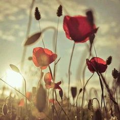 The Way of Poppies