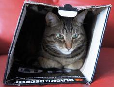 Tigrão, numa confortável caixa de papelão