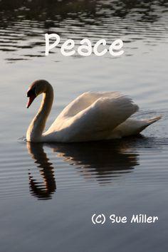 Peace Swan  (C) Sue Miller Art  www.suemillerart.com   prints angelknock@optonline.net