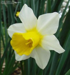 Jonquilla Narcissus, Apodanthus Daffodil 'Golden Echo' Transplant from old house Height: 12-18 in. (30-45 cm) Bloom Time: Late Winter/Early Spring/Mid Spring Full Sun to Partial Shade