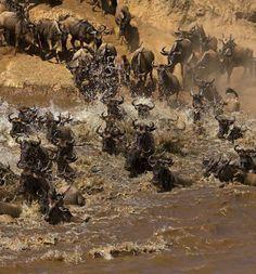 ヌーの川渡り(ケニア)  Wildebeest migration in the Maasai Mara,Kenya