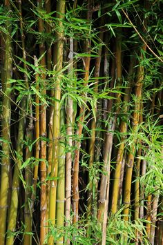 Looking for an environmentally friendly way to enclose your yard? Consider bamboo fencing! #bamboofence