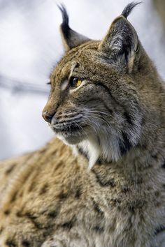 Profile portrait of a lynx