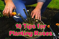 10 Tips for Planting Roses #flower #gardening #rose