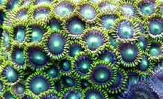 Corail dur (Protopalythoa sp)
