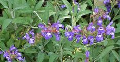 Salvia Officinalis, Paradis, Plantar, Organic, Gardening, Google Search, Beauty, Terrariums, Green