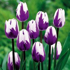 Tulips   Flowers Flower Bulbs Tulip Bulbs Tulip Blueberry Ripple