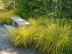 Carex elata 'Aurea' (Bowles' Golden sedge) - good evergreen colour for sun or part shade, colour will light a darker or very green area.