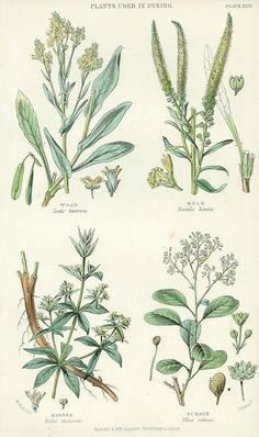Plants used in Dyeing, 1866