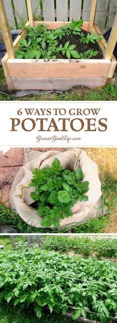 Quick To Build Moveable Greenhouse Options Whether You Are Striving For A Few Gourmet Fingerling Potatoes For Fresh Eating Or Growing A Large Crop For Winter Food Storage, Here Are Several Different Ways To Grow Potatoes In Your Garden. Growing Tomatoes Indoors, Growing Vegetables, Potato Gardening, Organic Gardening, Vegetable Gardening, Indoor Gardening, Veggie Gardens, Gardening For Beginners, Gardening Tips