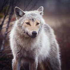 Grey wolf (canis lupus) portrait. Finland #WildGeography #GlobalDaily #bella_shots #elegantanimals #animalelite #exklusive_nature #shotaward #wonderfulworld #amazing_picturez #igscwildlife #animalsmood #exelent_nature #exclusive_animals #planet_of_animals #perfection_nature #pro_nature #greatshots #greatphotos #masters #master_shots #magic_shots #nature_of_our_world #igscwildlife #IgAnimal_Snaps #igcutest_animals #igscselect #macro_vision