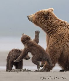 Tin Man Photography When mama bear said no, the cub was airborne. Never seen something like that. Katmai National Park, Alaska. Newsletter: http://eepurl.com/Y1oyv