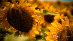 Hey, I found this really awesome Etsy listing at http://www.etsy.com/listing/101926710/texas-sunflowers-11x14-fine-art