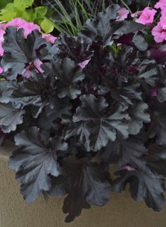 Container Gardening Ideas A stunning black plant for your perennial garden! Primo Black Pearl heuchera is hardy to zone 4 and will grow in sun or shade! Shade Flowers, Black Flowers, Shade Plants, Garden Shrubs, Shade Garden, Garden Plants, Fruit Garden, Potager Garden, Garden Beds