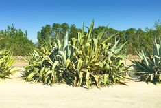 "American agave plants ""Agave americana"" in Port de Soller, Majorca - Spain  #americanagave #agave #plants #mallorca #catalonia #portdesoller #balearic #spain #travel #holiday #vegetation #shutterstock"