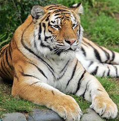 Tiger Photo: Tiger that escaped San Francisco Zoo. This Photo was uploaded by Pretty Cats, Beautiful Cats, Animals Beautiful, Cute Animals, Wild Animals, Pretty Kitty, Baby Animals, Beautiful Things, Siberian Tiger